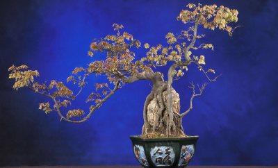 bonsai-bakimi-3