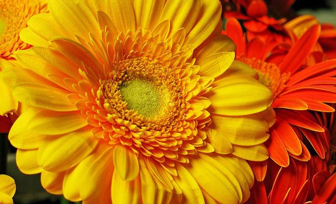 Gerbera Çiçeği Bakımı