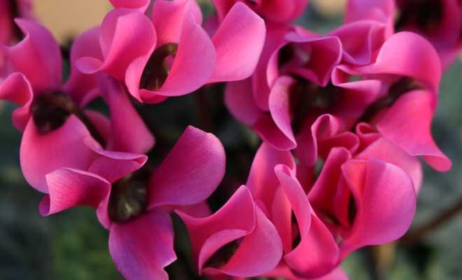 Siklamen Çiçeği ve Bakımı