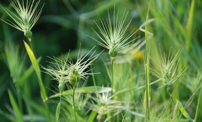 Bitki dikimi öncesi yabani otların temizlenmesi