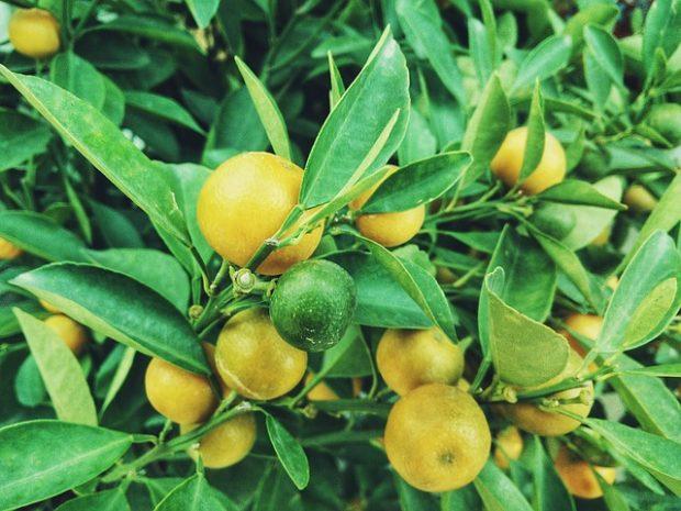 lime (3)