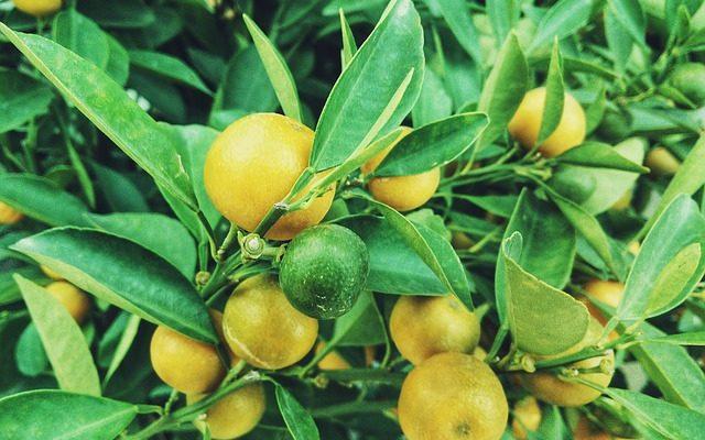 Bahçenizde Lime Yetiştirin