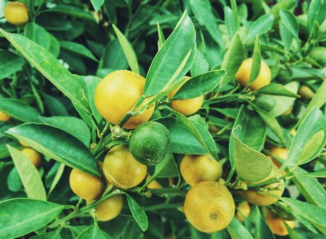 Lime yetiştiriciliği