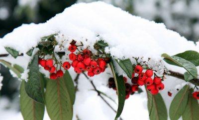 kar kaplı kış çiçekleri
