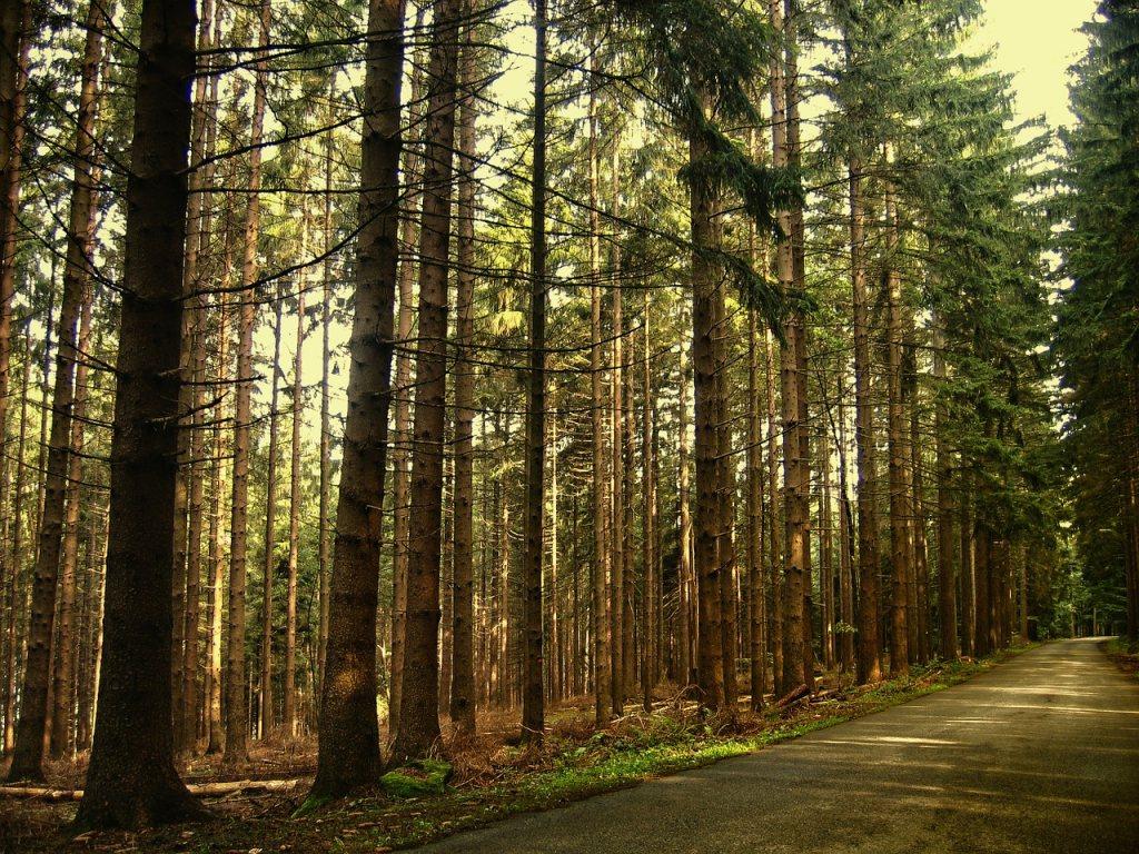 göknar ağaçları ile kaplı orman içinden geçen toprak yol