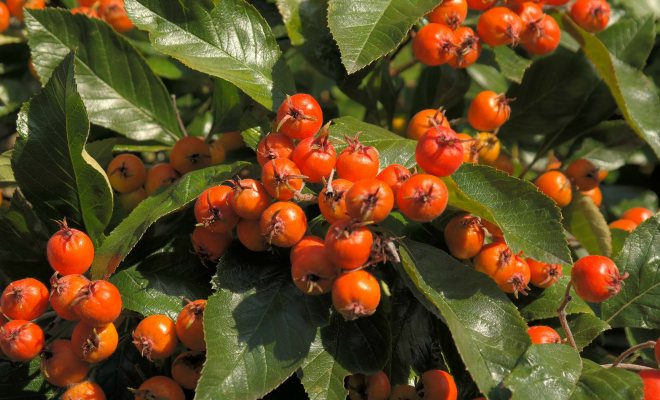C vitamini deposu alıç bitkisini tanıma