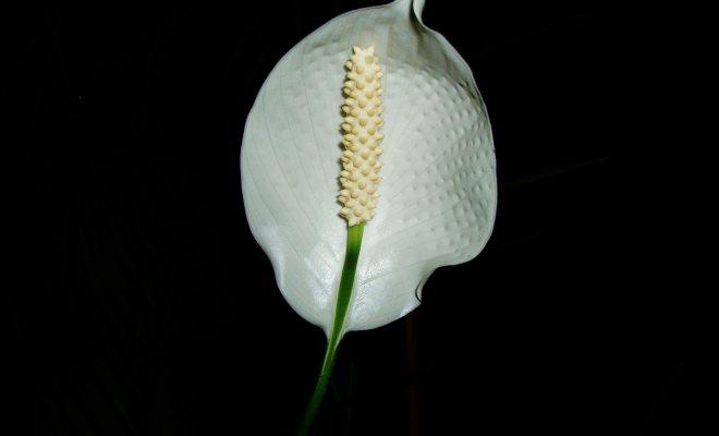 """Beyaz ve kokulu bir çiçek """"barış çiçeği"""""""