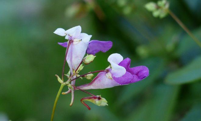 Bahçenizde camgüzeli bitkisi yetiştirin