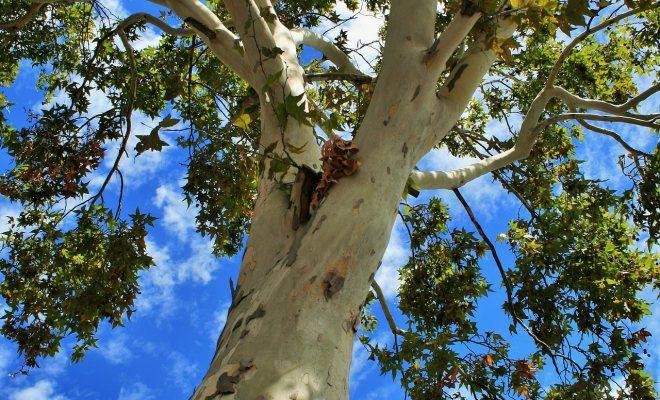 Bahçenizde çınar ağacı yetiştirin
