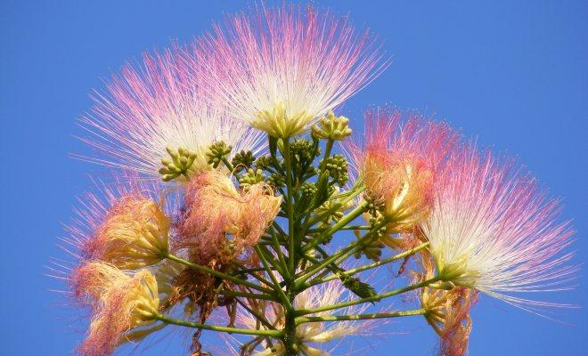 Pembe çiçekli bir bitki Gülibrişim