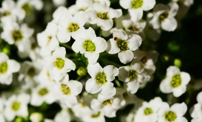 Bahçenizde kraliyet halısı bitkisi yetiştirin
