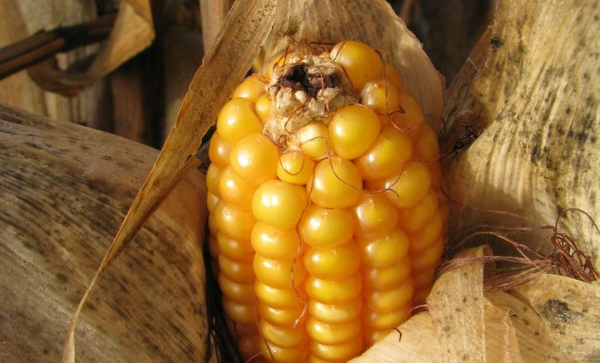 Bahçenizde mısır yetiştirin