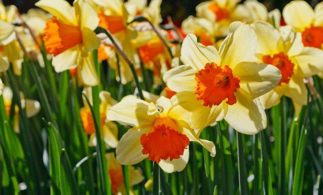 Nergis Çiçeği Saksıda Nasıl Yetiştirilir?