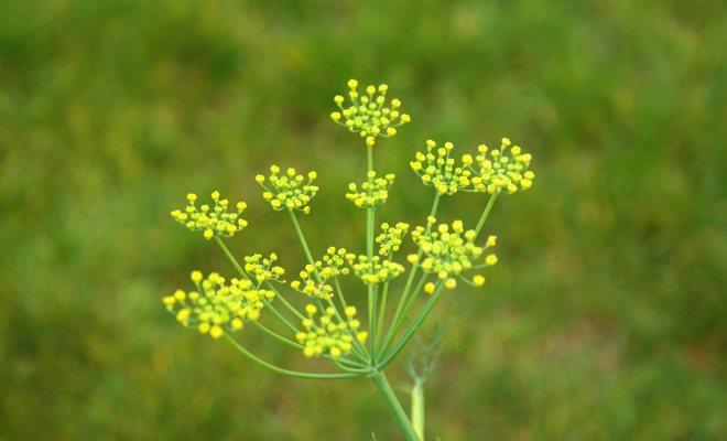 Rezene bitkisini tanımak
