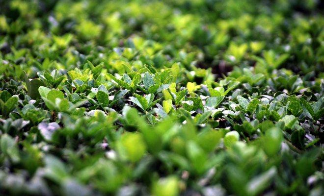 Her dem yeşil olan bitki şimşir