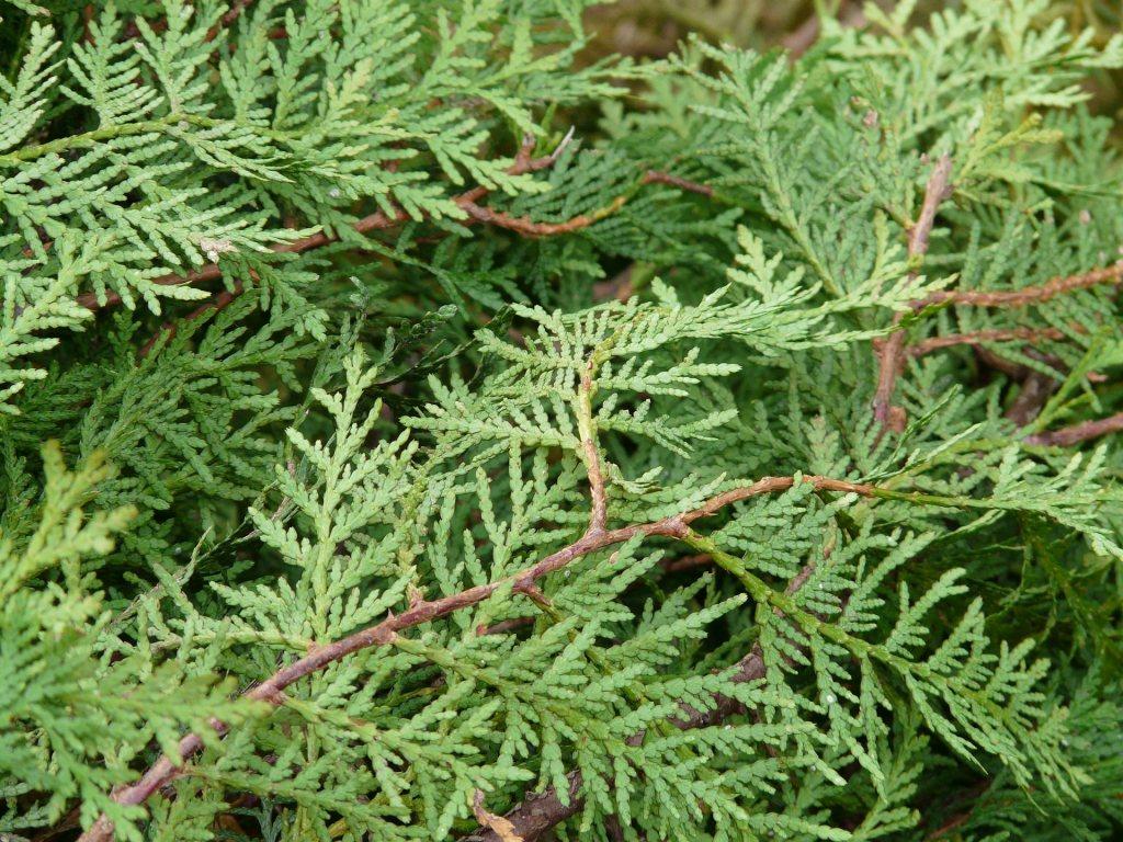 servi ağacı yaprağı