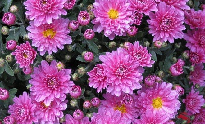 Yıldızpatı çiçeği
