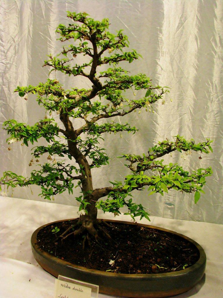 bonsai-bakimi-5