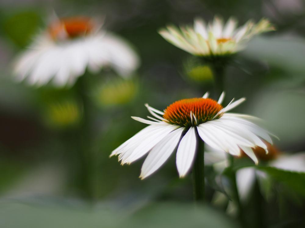 ekinezya-ciceginin-faydalari