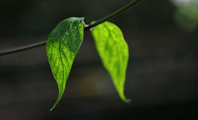 Bitkilere Zarar Veren Mantarlar