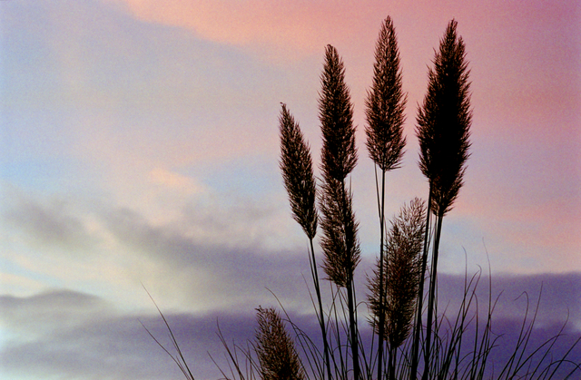 Pampas Grass Silhouette against a colorful sky