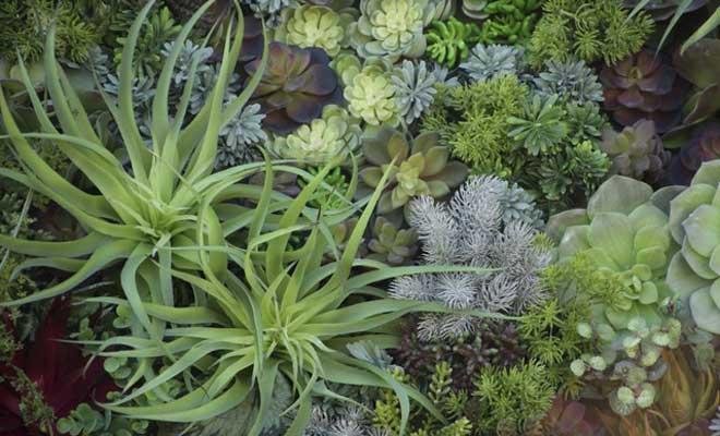 Bahçelerin Dayanıklı Bitkisi Sukulent