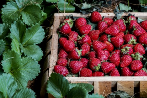 Strawberries in the wooden basket with plant