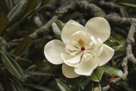 İncir Çiçeği