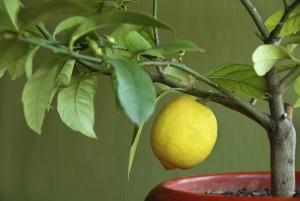 Balkonda Limon Yetiştirme