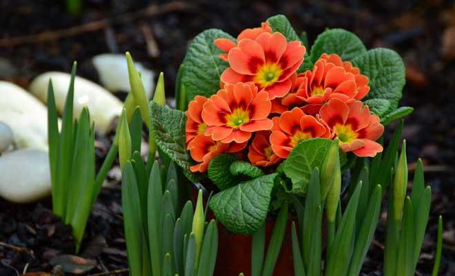 Evde Çuha Çiçeği Bakımı ve Üretimi