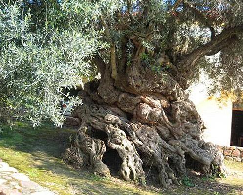 Girit'in antik zeytin ağaçları
