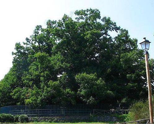 Yaşlı Fındık Ağacı