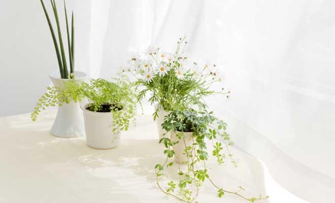 Kaloriferin Yanındaki Çiçek Bozulur mu?