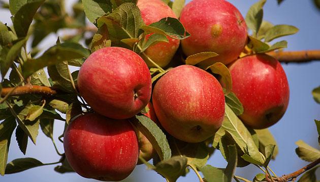 Amasya Elmaları