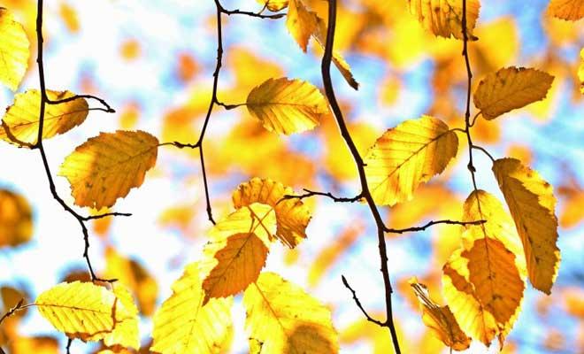 Yapraklar Neden Sararır ve Dökülür?