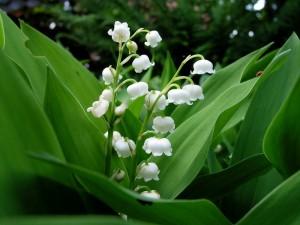 İnci Çiçeği (2)