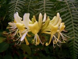 hanımeli-çiçegi