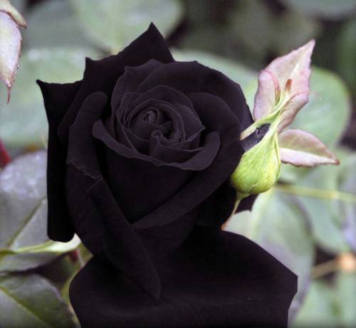 siyah-gul-2