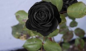 siyah-gül-3