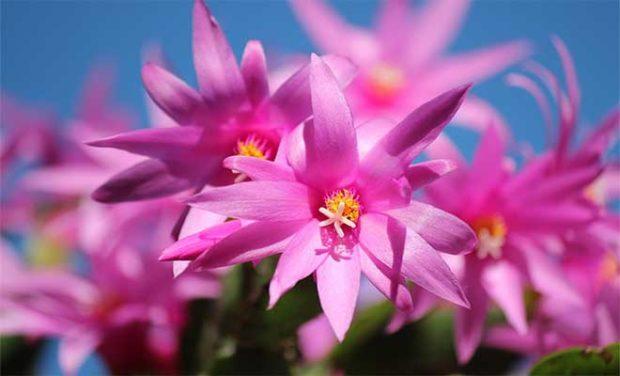 Dalya Çiçeği