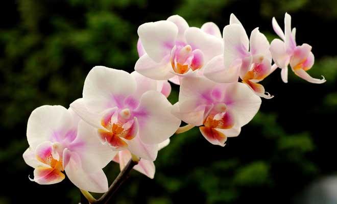Orkide Nasıl Çoğaltılır?