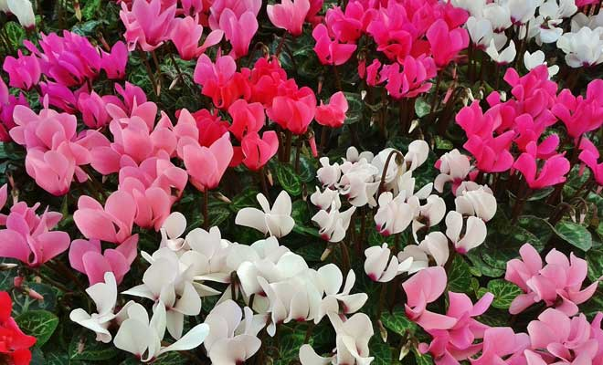 Siklamen Çiçeği Çeşitleri