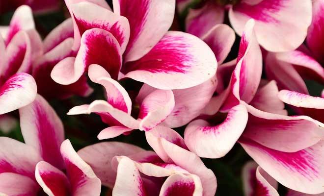 Siklamen Çiçeği Bakımı