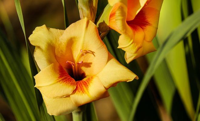 Glayöl Çiçeği