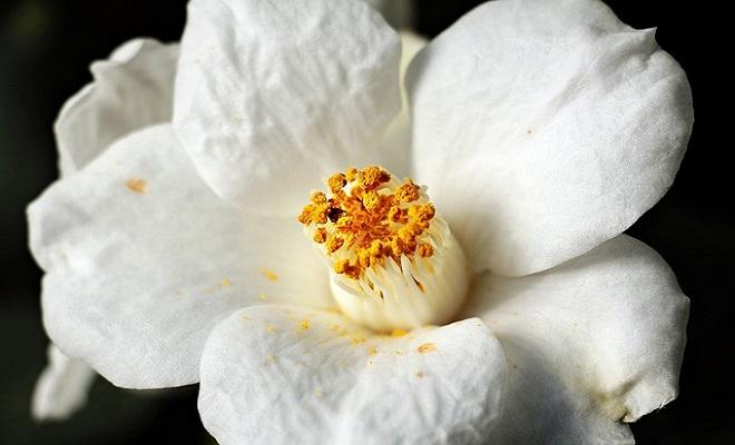Kamelya Çiçeği Bakımı