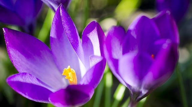 Çiğdem Çiçeği