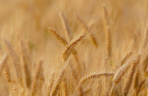 yerel-tohum