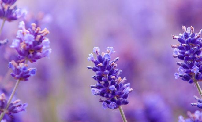 Baharın Mis Kokulusu Lavanta Çiçeği