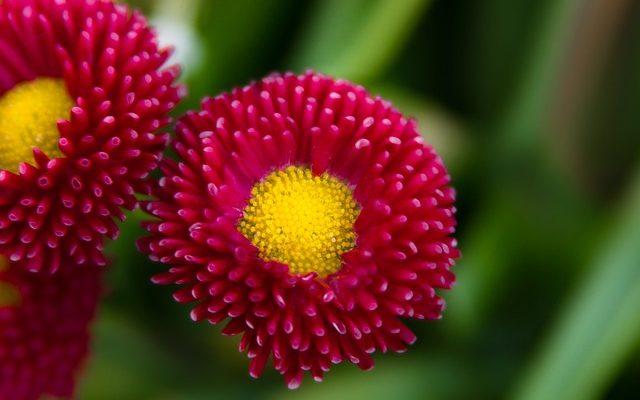 Bellis Çiçeği – Yaz Papatyası