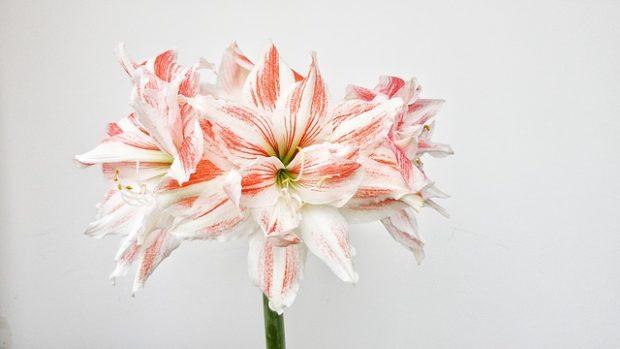 Güzel Hatun Çiçeği